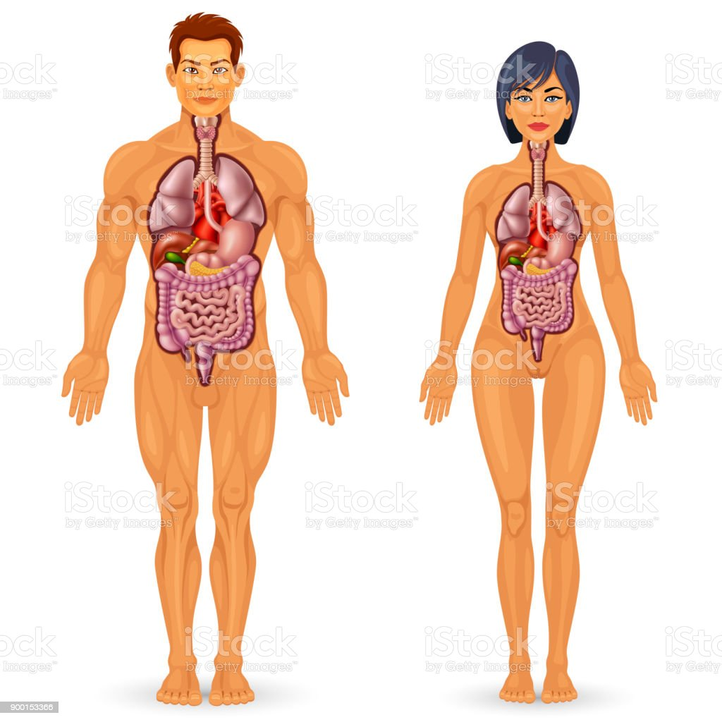 Human Body Organs Anatomy Stock Vector Art More Images Of Anatomy