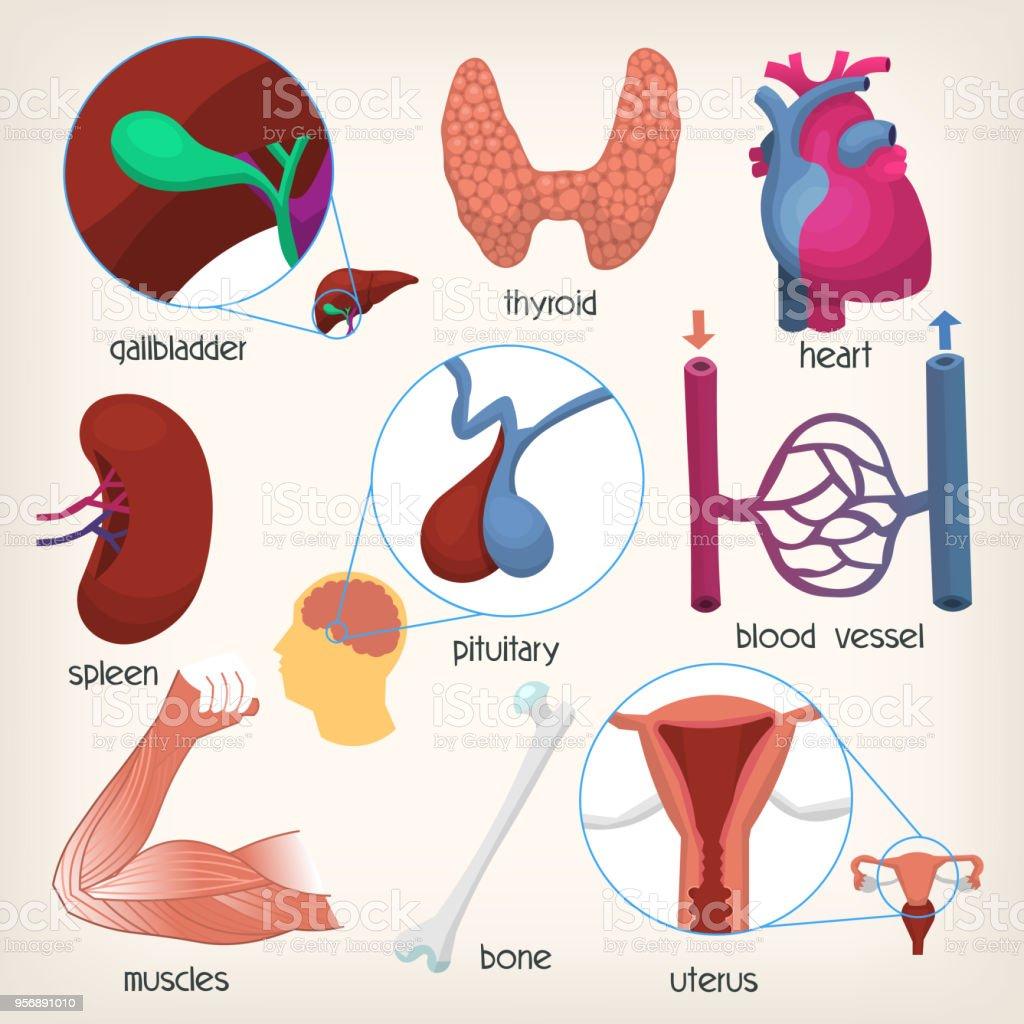 Organe Des Menschlichen Körpers Teil 2 Stock Vektor Art und mehr ...