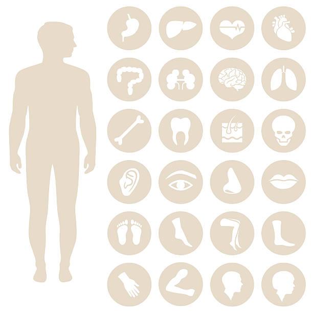 human body parts anatomy vector art illustration