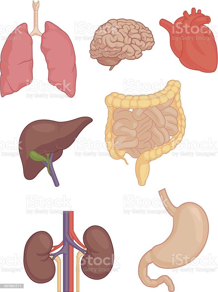 Ilustración de Partes Del Cuerpo Humano El Cerebro Los Pulmones El ...