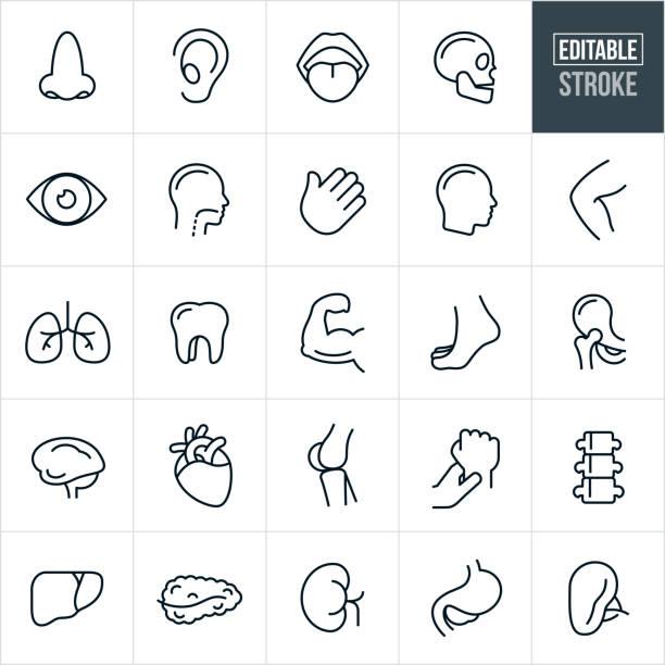 ludzkie części ciała thin line ikony - edytowalny obrys - ludzkie części ciała stock illustrations