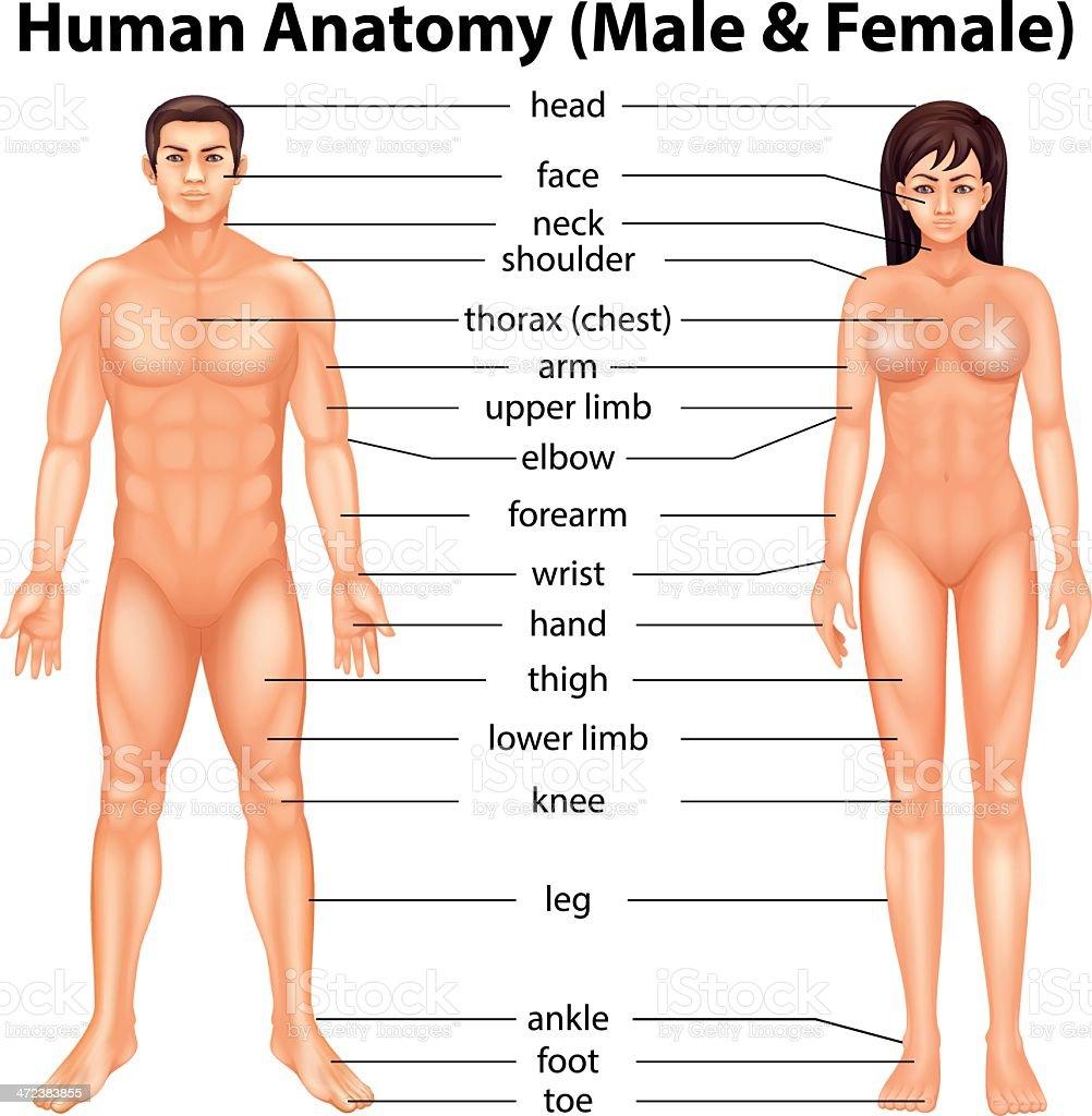 Human body parts vector art illustration