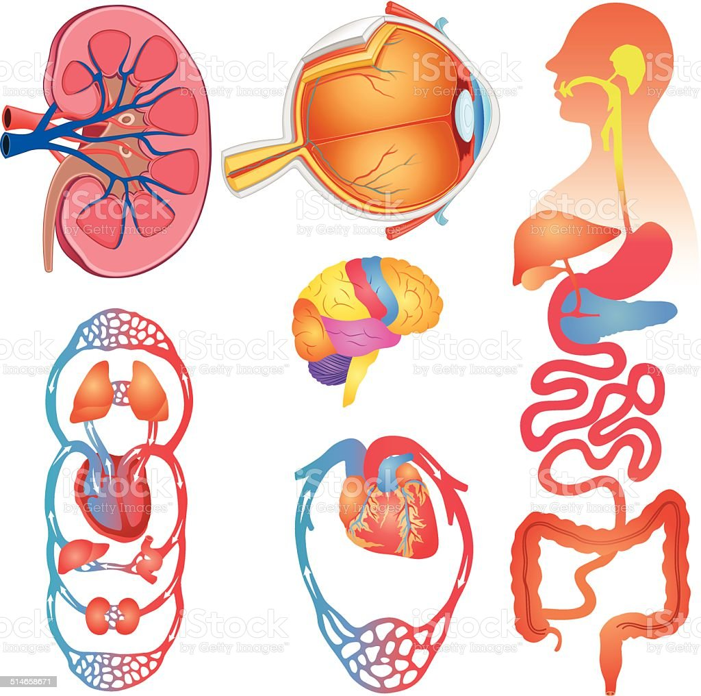 Human body parts vector set stock vector art 514658671 for Interieur corps humain