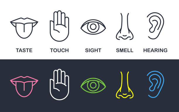 Human body senses line vector line icons Five human body senses sign set with nose for smell, tongue for taste, hand for touch, eye for sight, and ear for hearing - line icons. Vector illustration. sensory perception stock illustrations