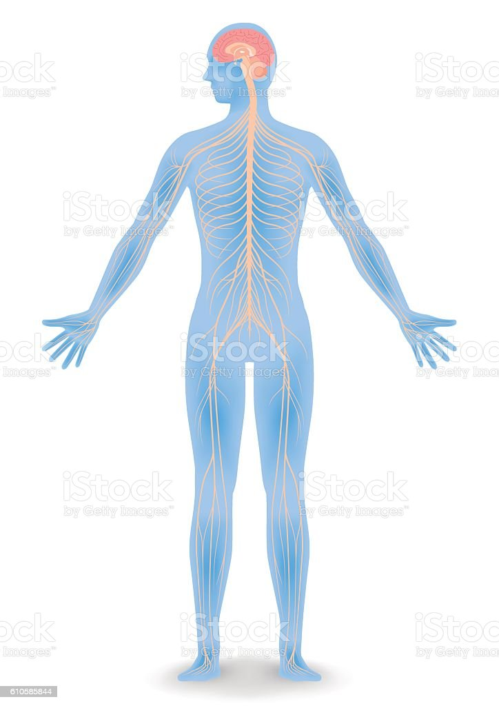 Human Body Silhouette And Nervous System Stock Vektor Art Und Mehr