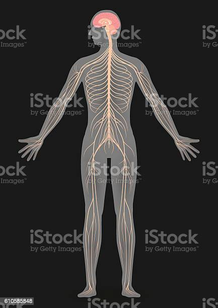 Human body silhouette and nervous system vector id610585848?b=1&k=6&m=610585848&s=612x612&h=f jsqepy92zcztxd4ln65oh0v776qs5taolv5bj7tni=