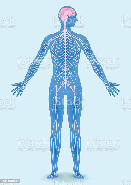 Human body silhouette and nervous system vector id610585862?b=1&k=6&m=610585862&s=612x612&h=cuxkdk66qkaegxjl2qmak8o34fh8ugxps8fmspnd rs=