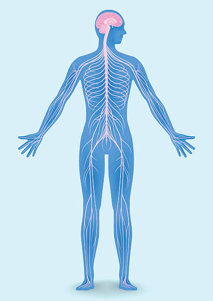 human body silhouette and nervous system human body silhouette and nervous system, vector illustration neurology stock illustrations