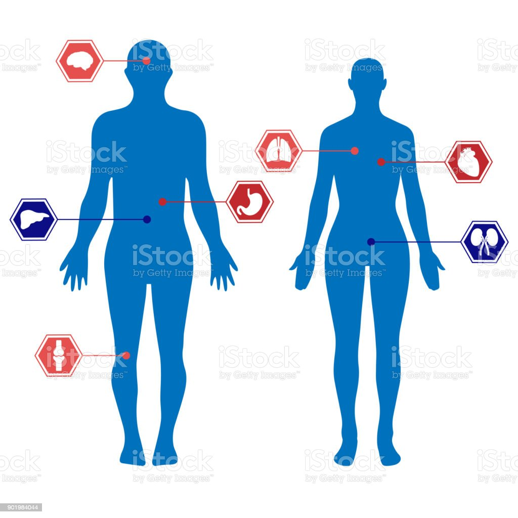 Human Body Silhouettes Of A Man And A Woman And Organs Stock Vector