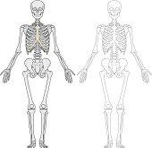Human body, skeleton