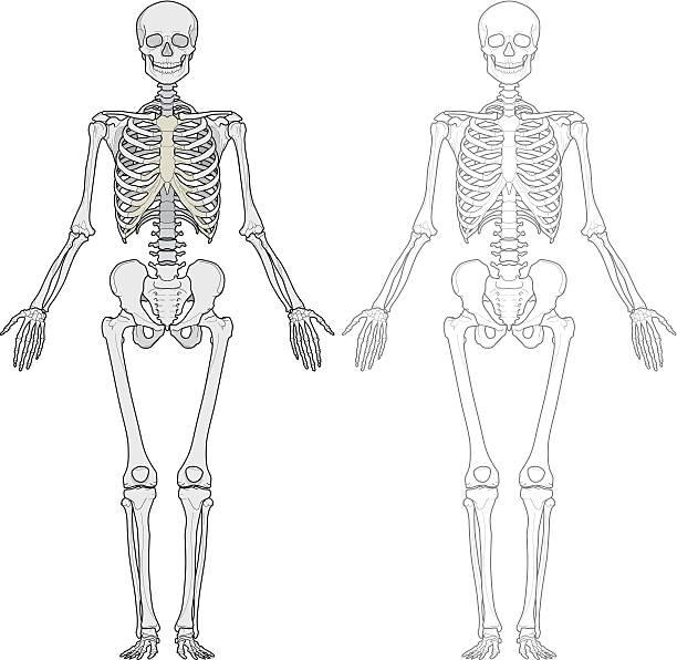 Human body, skeleton vector art illustration