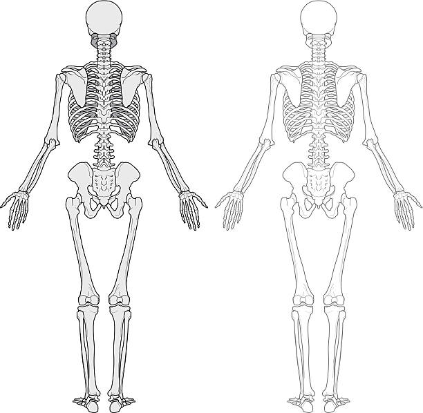 human body, skeleton - autopsy stock illustrations, clip art, cartoons, & icons