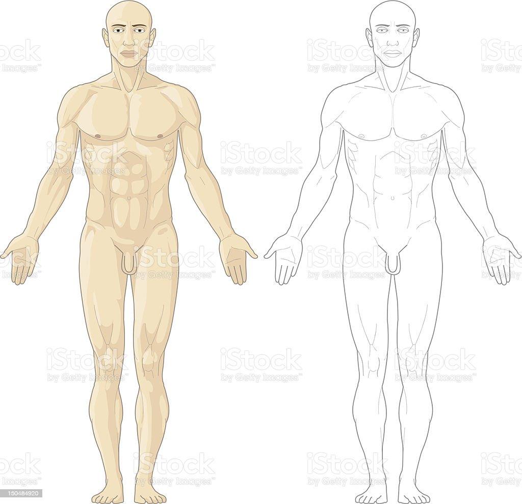 Menschlicher Körper Stock Vektor Art und mehr Bilder von Anatomie ...