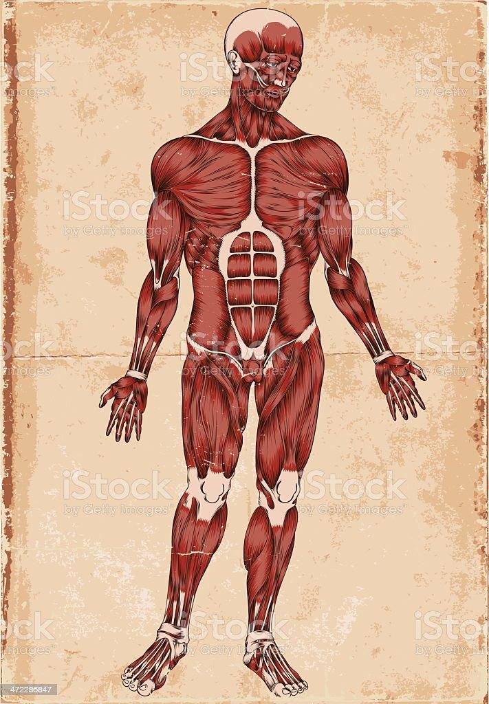 Human body vector art illustration