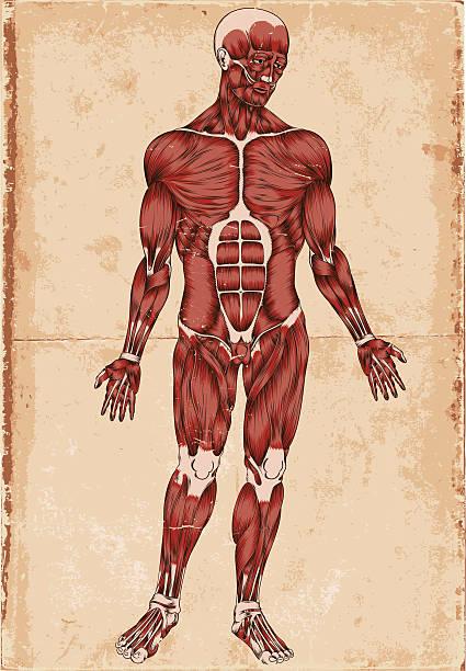 human body - autopsy stock illustrations, clip art, cartoons, & icons