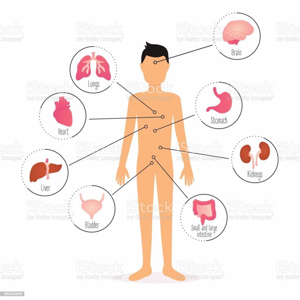 Human Body With Internal Organs Human Body Health Care Infographics ...