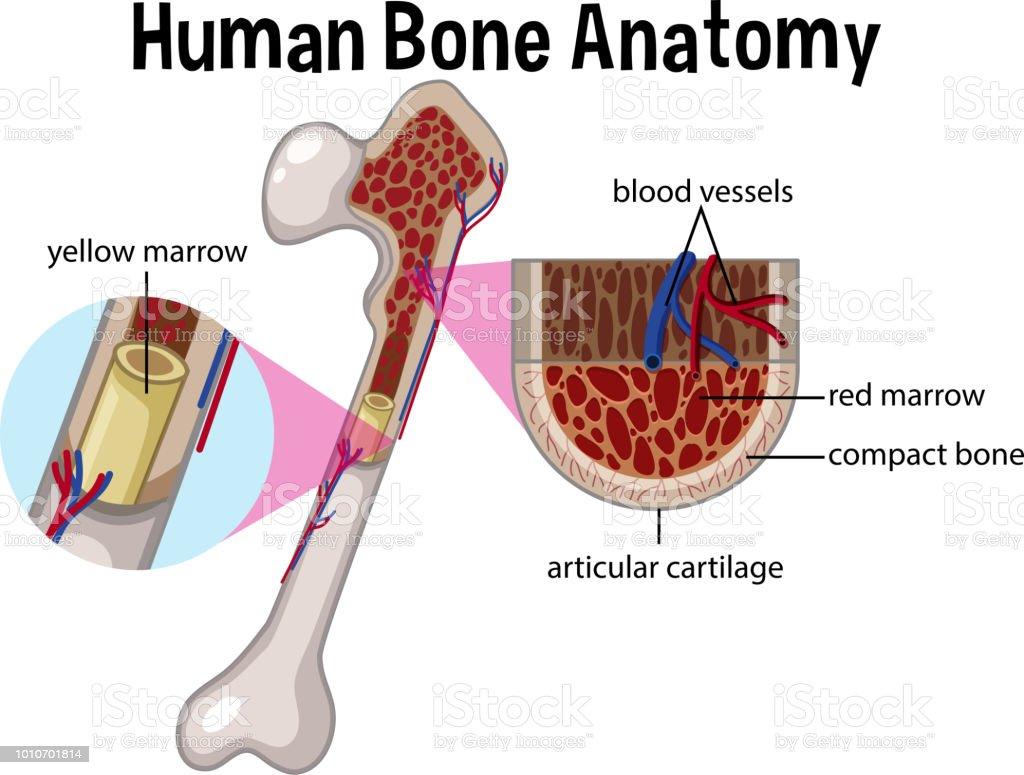 Anatomie Der Menschlichen Knochen Und Diagramm Stock Vektor Art und ...