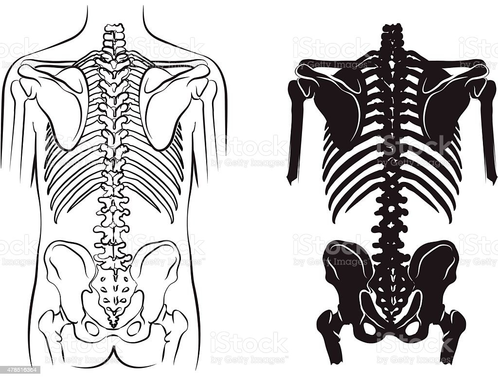 human bone anatomy vector art illustration