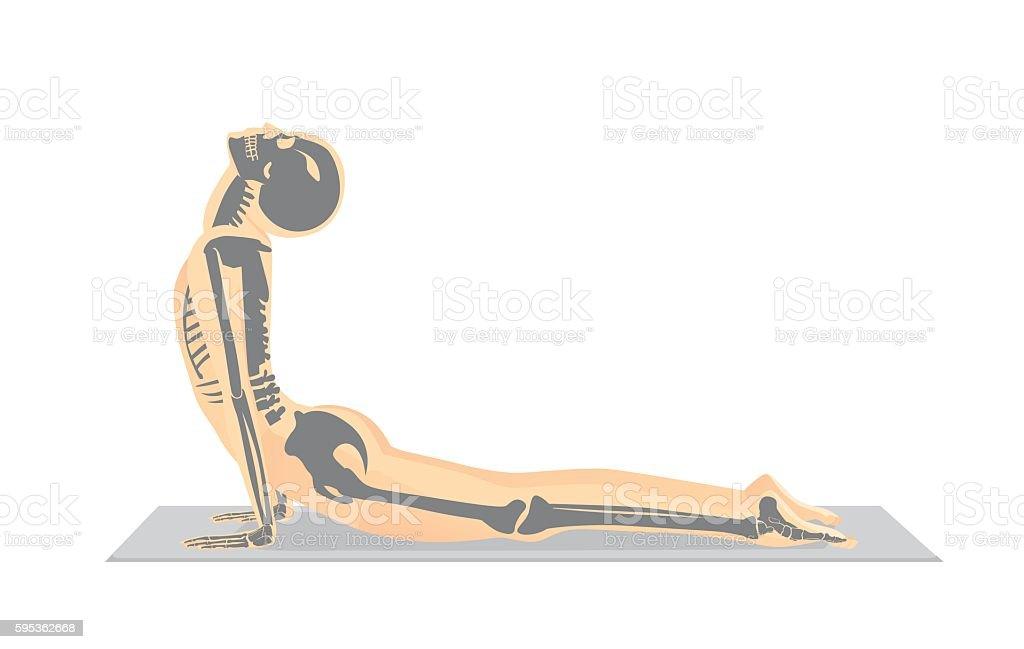 Human bone anatomy while Yoga workout. vector art illustration