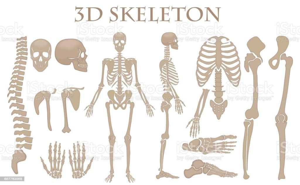 Ilustración de Huesos Humanos 3d Realista Vector Silueta Esqueleto ...