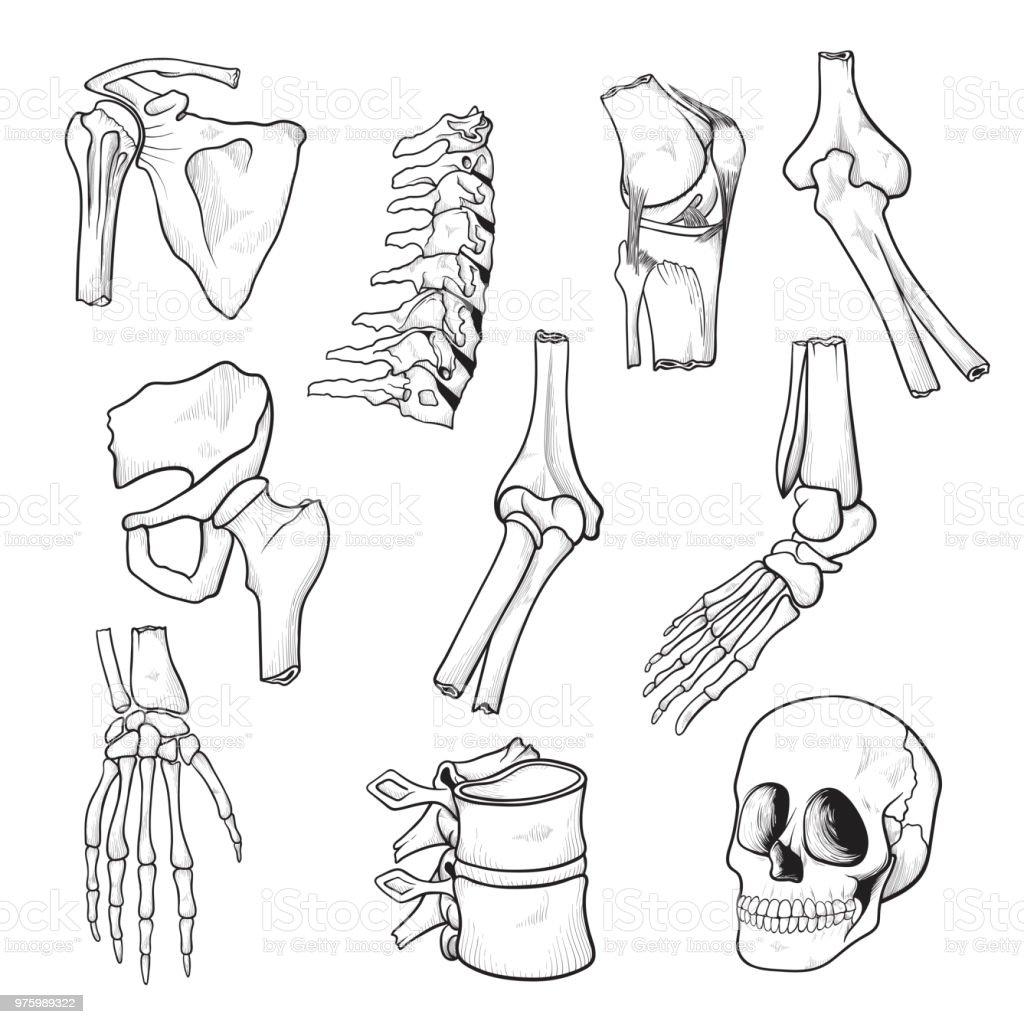 Menschliche Knochen Und Gelenke Skizze Stock Vektor Art und mehr ...