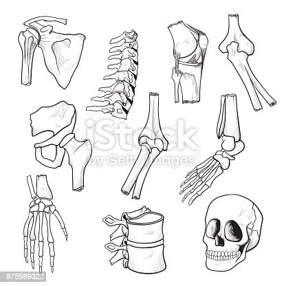 Human Bones And Joints Sketch Stock Vector Art & More Images of ...