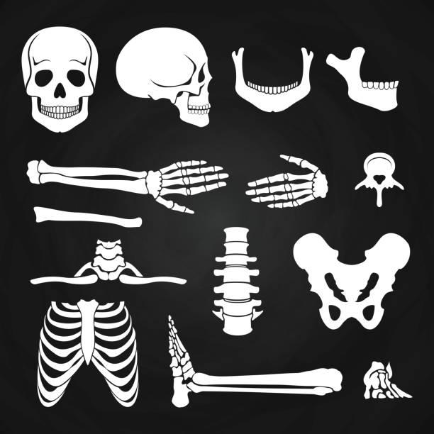 human bones collection on chalkboard - animal skeleton stock illustrations