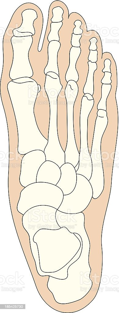 human bones foot vector art illustration