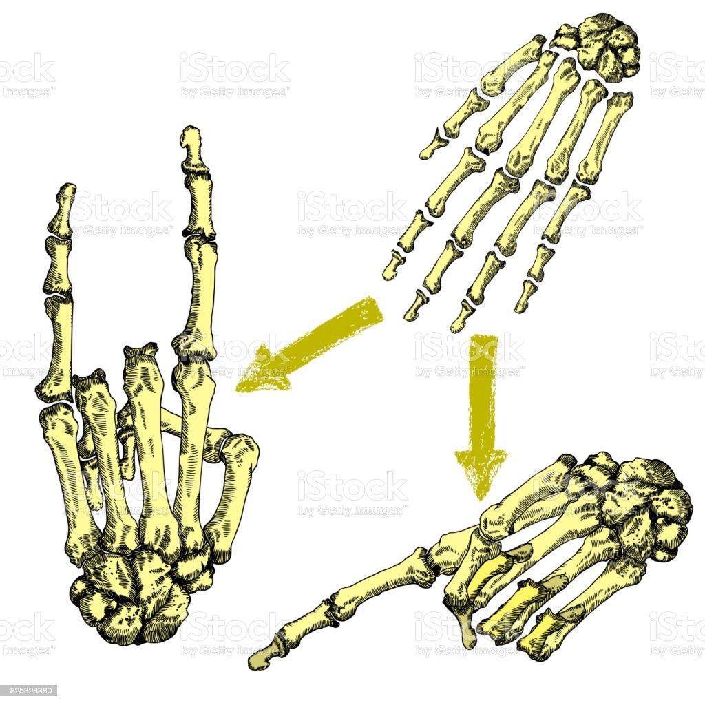 Menschliche Knochen Der Hand Handgelenke Zeichnungssatz Schöpfung ...