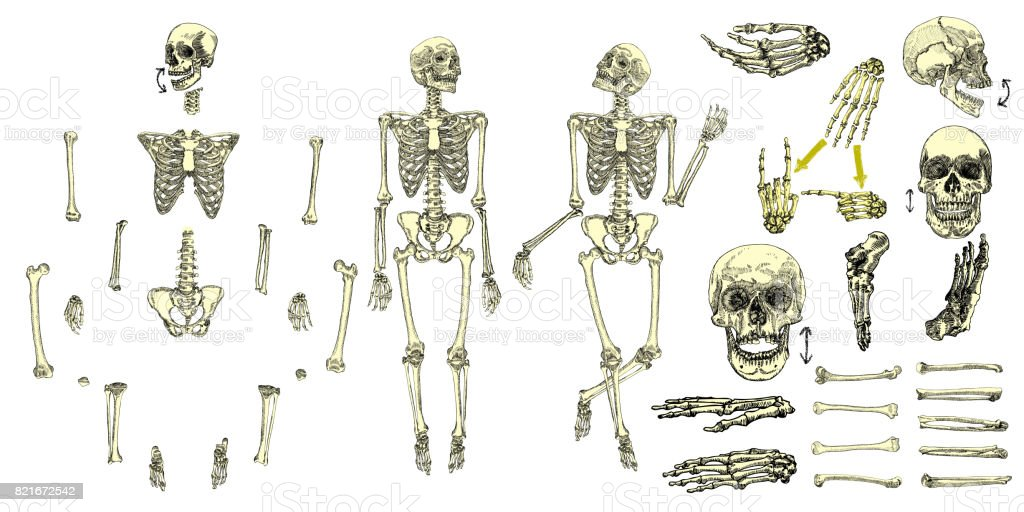 Human Bones Skeleton Drawing Collection Set Character Creation Set