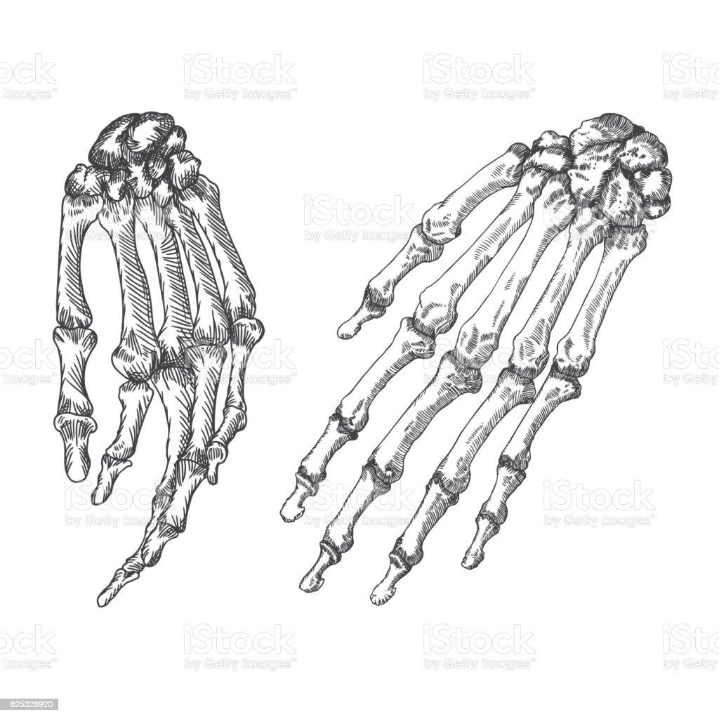 Menselijke Botten Skelet Hand Polsen Tekening Vectorillustratie ...