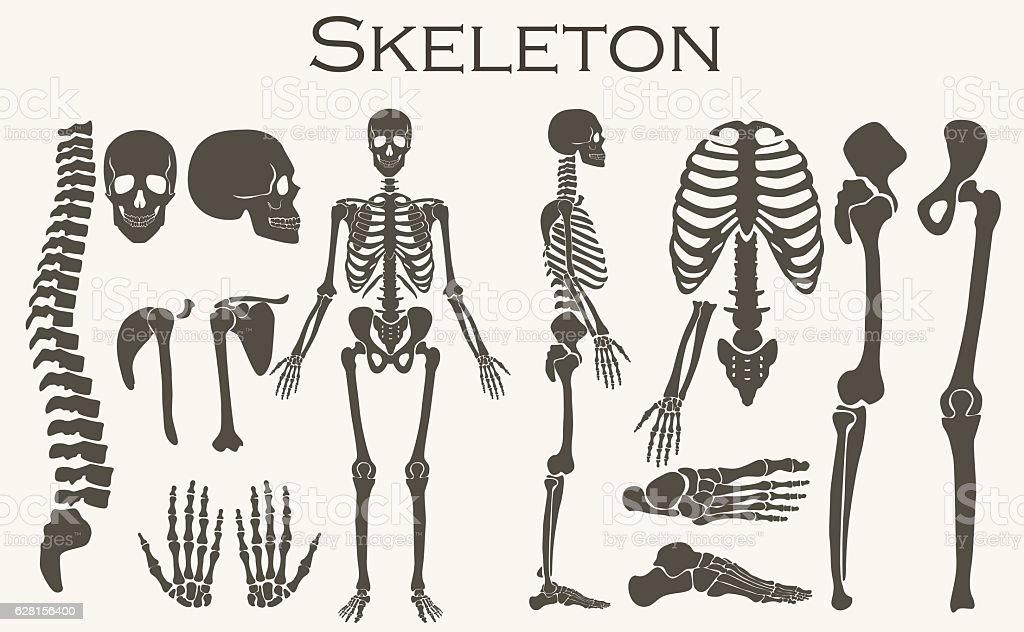 Human bones skeleton silhouette  collection set. High detailed Vector illustration. vector art illustration