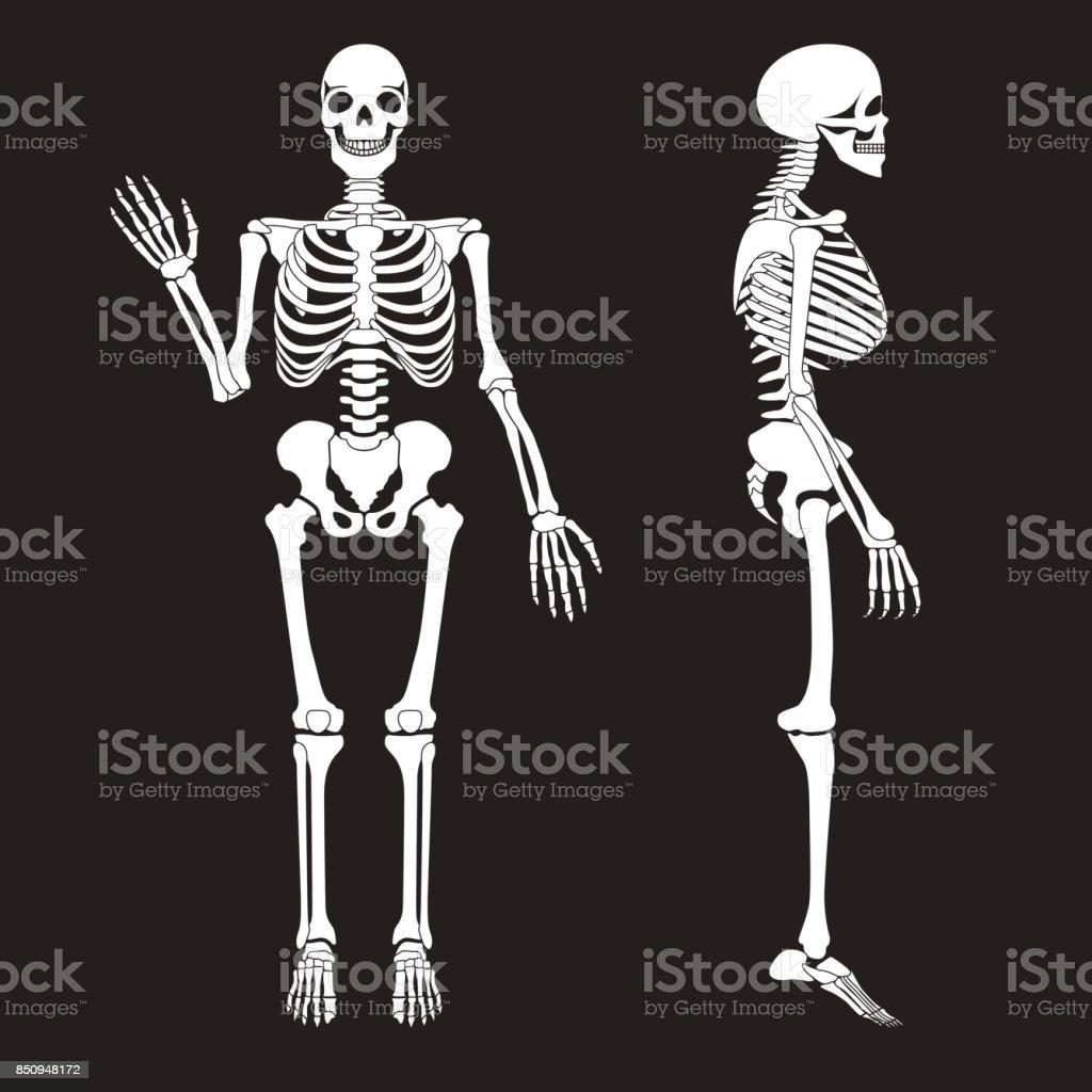Menschliche Knochen Skelett Silhouette Vektor Anatomie Des ...