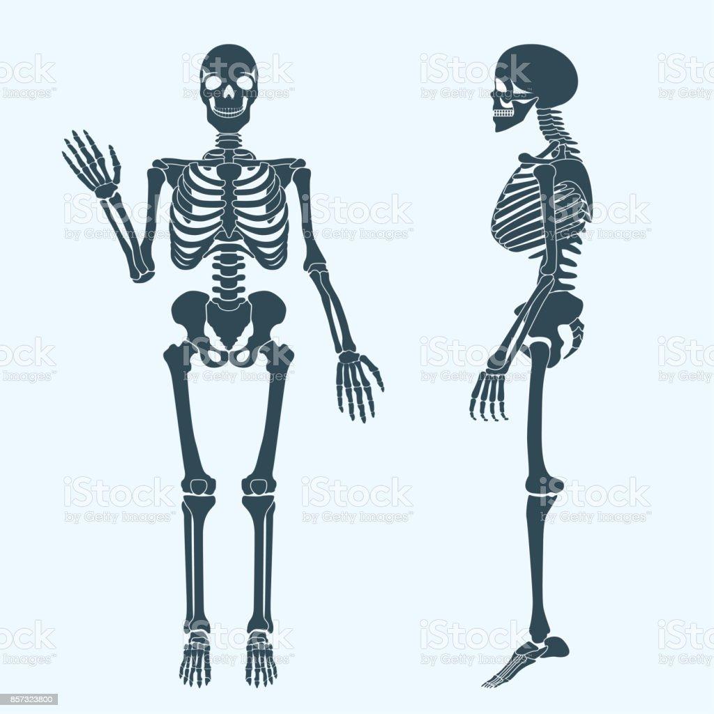 Wonderbaarlijk Menselijke Botten Skelet Silhouet Vector Anatomie Van Het HA-61