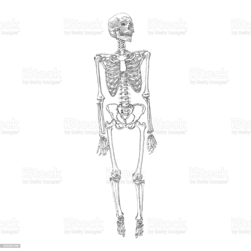 Menschliche Knochen Skelett Stehende Zeichnung Arme Beine Schädel ...
