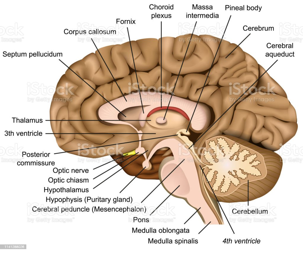 Human Brain Anatomy 3d Vector Illustration On White