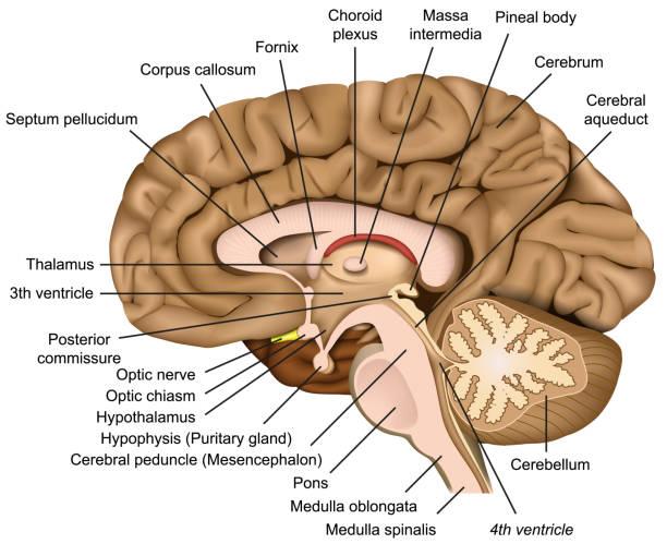 Human brain anatomy 3d vector illustration on white background Human brain anatomy 3d vector illustration on white background eps 10 lateral ventricle stock illustrations