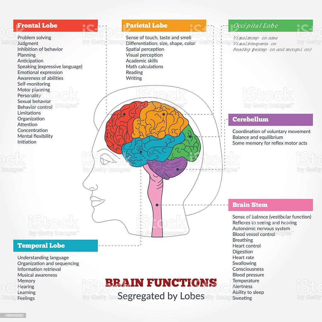 Human brain anatomy and functions vector art illustration