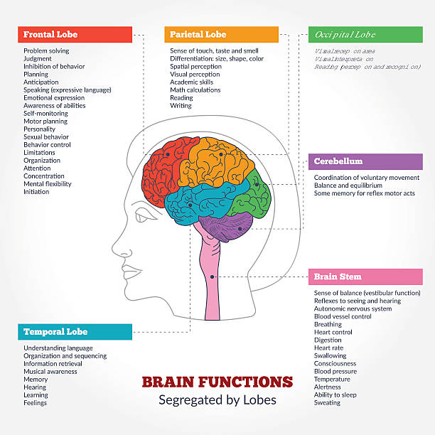 Human brain anatomy and functions Guide to the human brain anatomy and human brain functions segregated by lobes. Brain structure infographics. brain stem stock illustrations