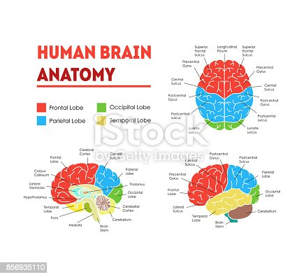Human Brain Anatomy Infographic Card Poster System Concept of Diagnostics and Health Care Flat Design Style. Vector illustration of Head