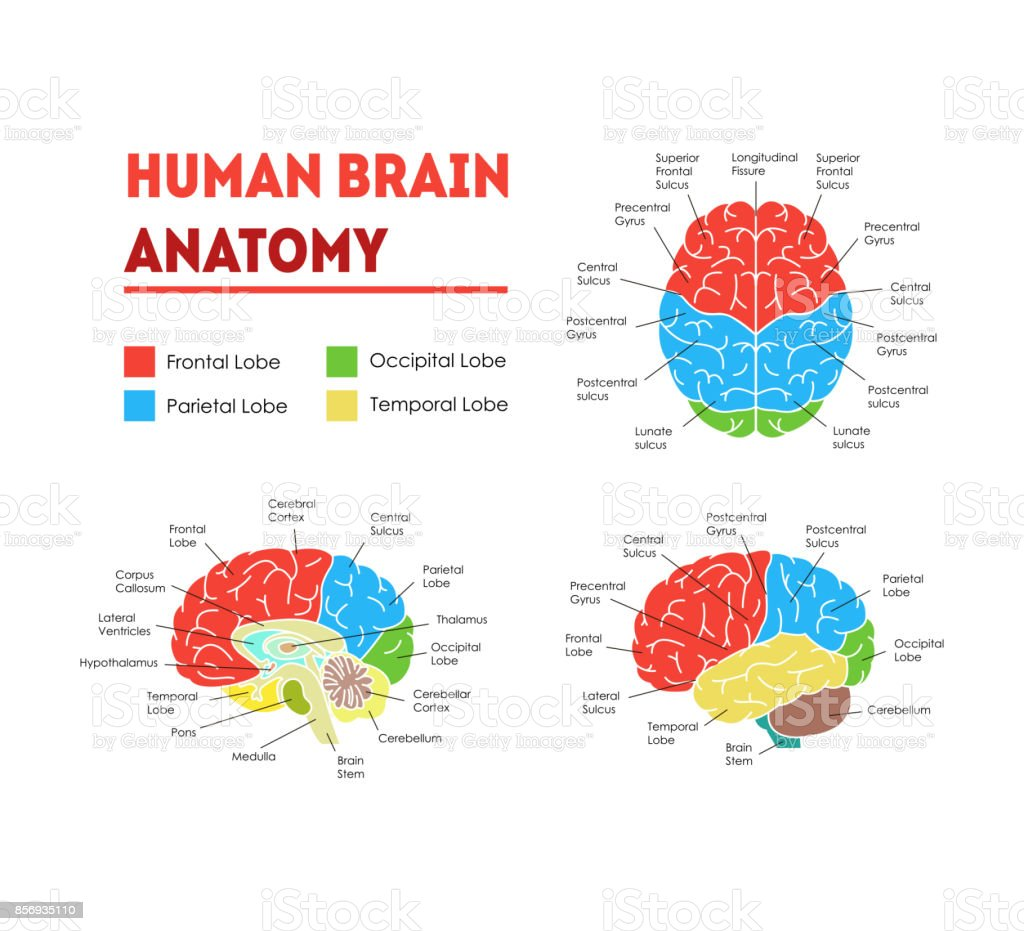 Human Brain Anatomy Card Poster. Vector vector art illustration