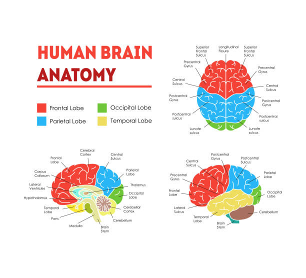 Human Brain Anatomy Card Poster. Vector vector art illustration