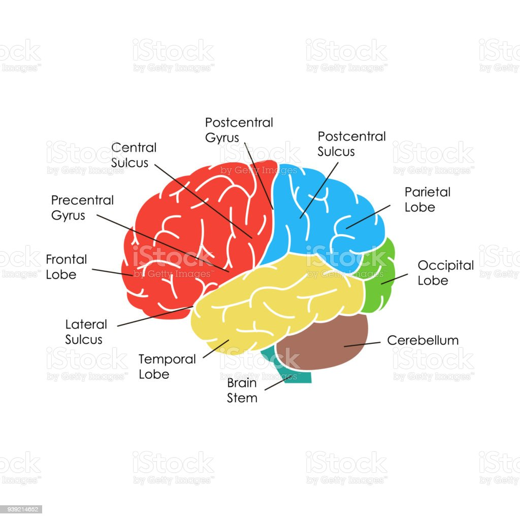 Ilustración de Cerebro Humano Anatomía Tarjeta Poster Vector De y ...