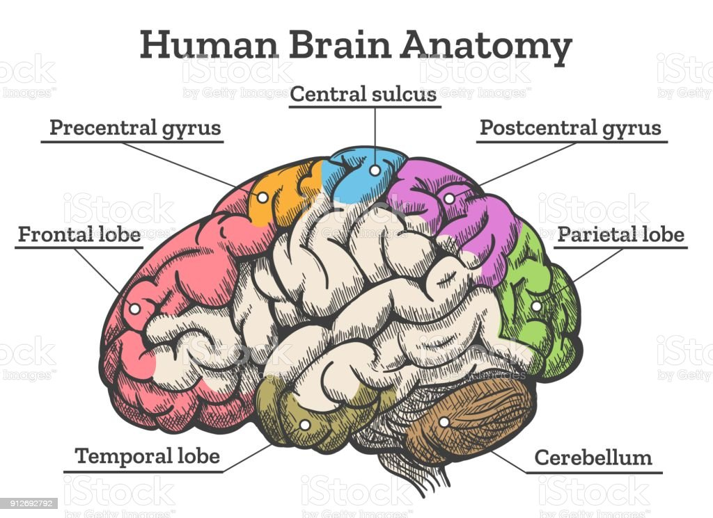 Human brain anatomy diagram vector art illustration