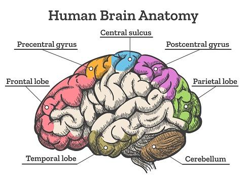Human Brain Anatomy Diagram Stock Illustration - Download ...