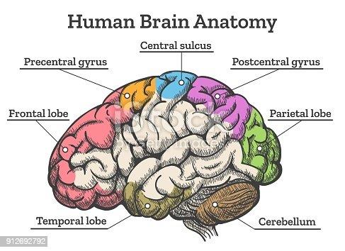 Human Brain Anatomy Diagram Stock Vector Art & More Images ...