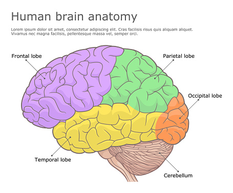 Parts of human brain side view. Vector illustration.