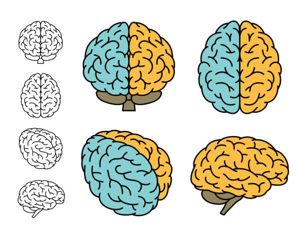 ilustraciones, imágenes clip art, dibujos animados e iconos de stock de anatomía del cerebro humano. conjunto de varias vistas. cerebro izquierdo y cerebro derecho. ilustración de vector. - brain