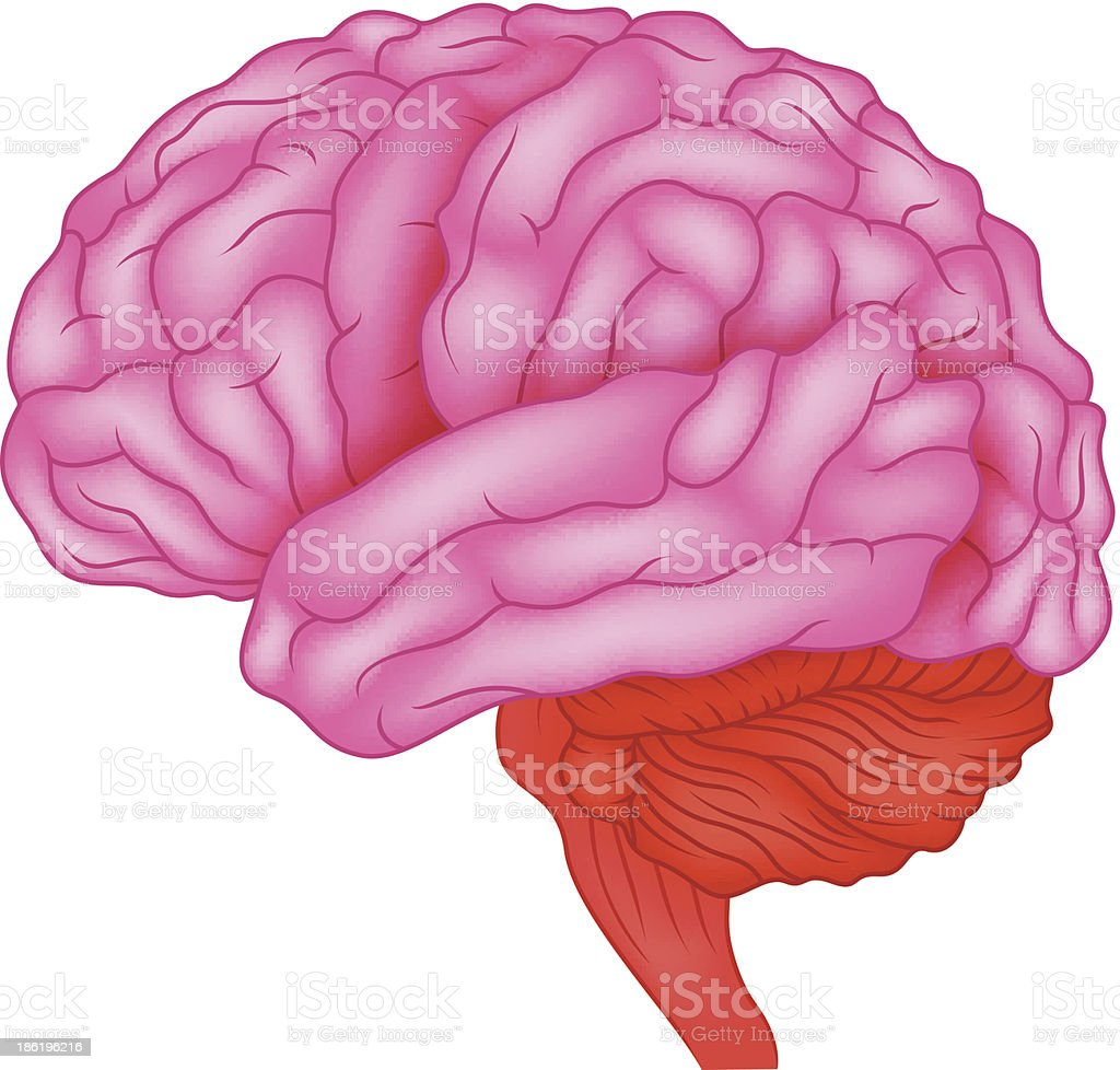 Human brain anatomy royalty-free stock vector art