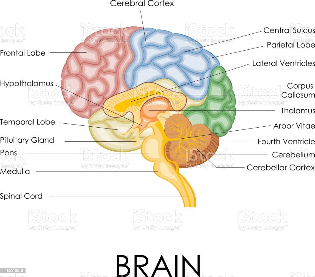 Menschliche Gehirn Anatomie Stock Vektor Art und mehr Bilder von ...